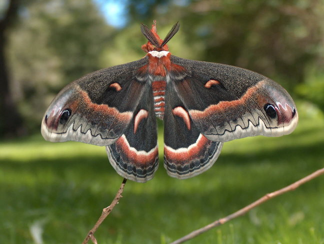 Cecropia Moth – Ready for first flight Port Credit, Mississauga, ON