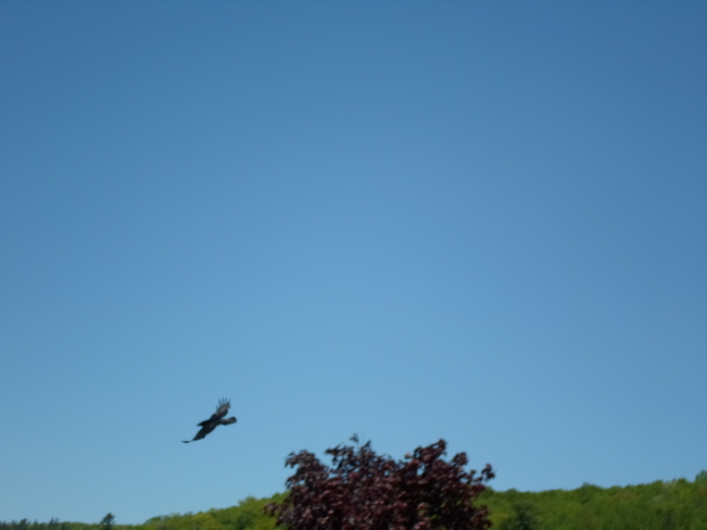 A Raven Spreads his Wings E.L. Elliot Lake, Ontario Canada