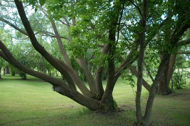 a cool tree St. Malo, Manitoba Canada