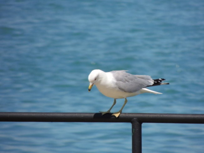 Gull Resting Before His Next Flight Windsor, ON