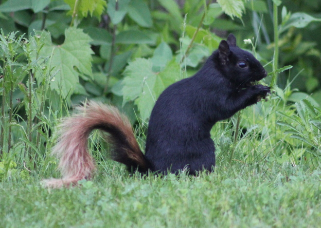 That tail! Brockville, ON