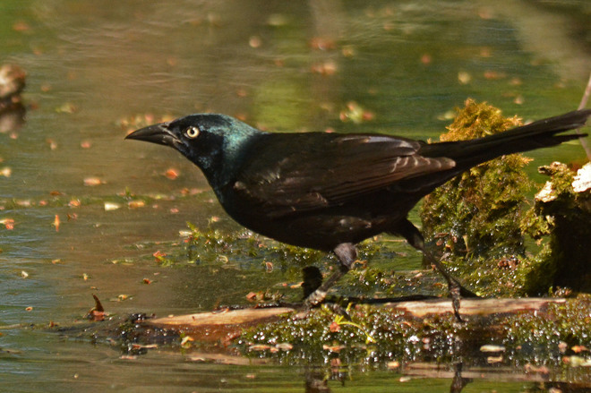 Grackle Cooling Off Guelph, ON