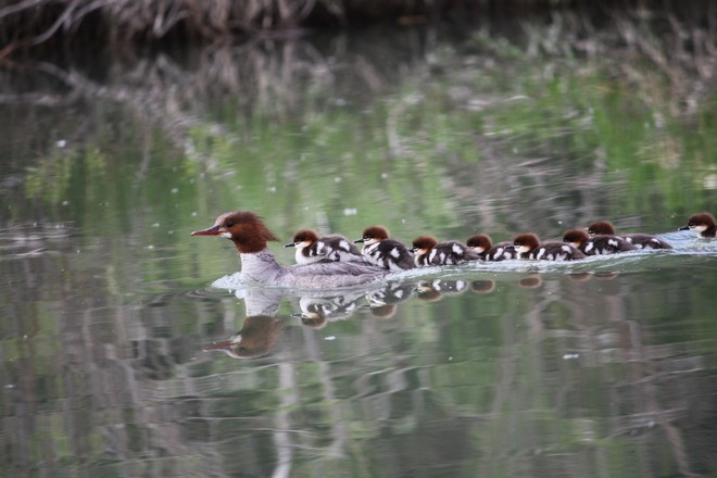 The mearganser and her babes. calgary alberta