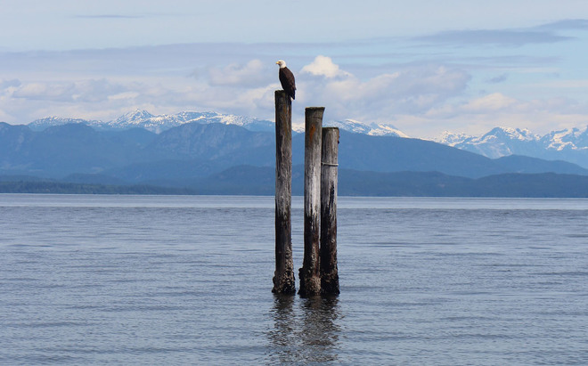 Eagle on Vancouver Island Oyster Bay, British Columbia, Canada