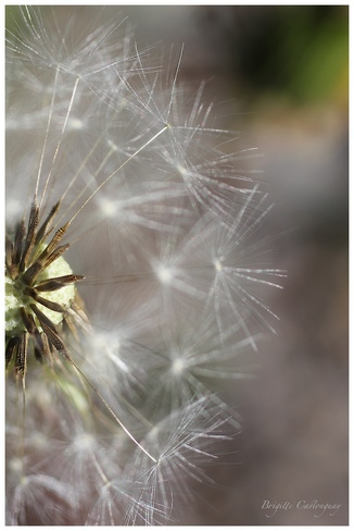 The Purity of a Dandelion