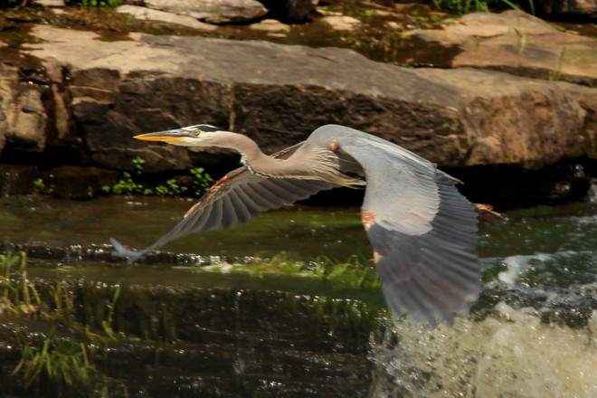 Great blue heron at the falls Greater Napanee, ON