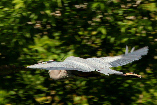 Heron Fly By Greater Napanee, ON