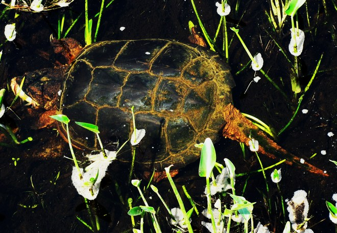 Large Snapping Turtle Eats Dead Fish Elliot Lake, ON