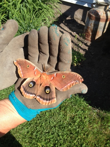 Cecropia Moth...Male? Giroux Road, Sarsfield, ON