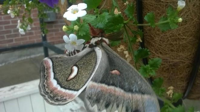 The HUGE beautiful moth on the beautiful flowers this morning South Algonquin Eatery And Pub, Bridge Street West, Bancroft, ON