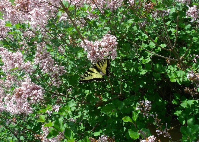 Beautiful Butterfly Tuesday June 10 Madoc, ON