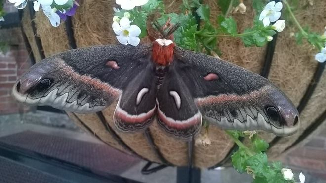HUGE beautiful Moth today hanging out of the rain. South Algonquin Eatery And Pub, Bridge Street West, Bancroft, ON