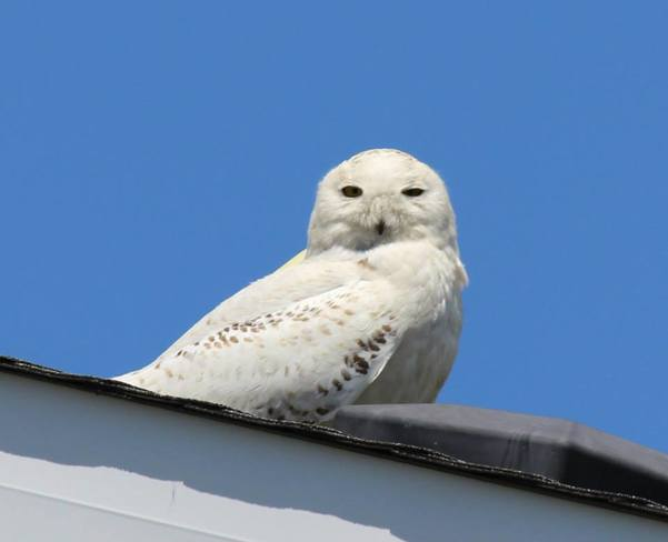 Snowy owl chilling on my roof Arnprior, ON