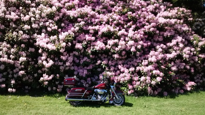 Rhododendrons Kentville, NS