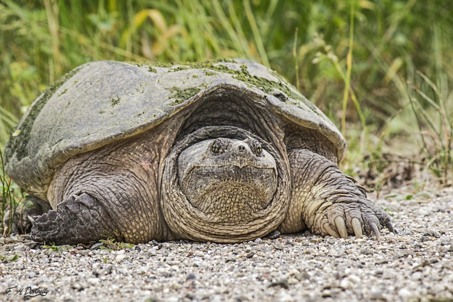Dinosaurs among us: Snapping Turtle Port Elmsley, ON