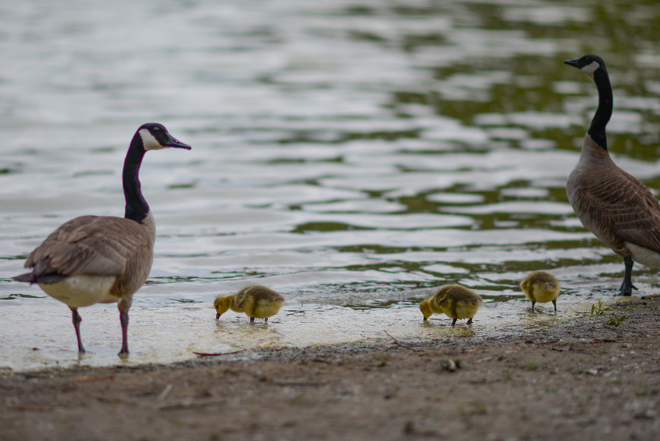 Goslings sarnia, on