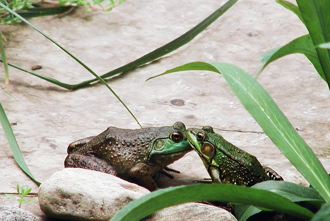 Kissing Frogs at Pond London, ON