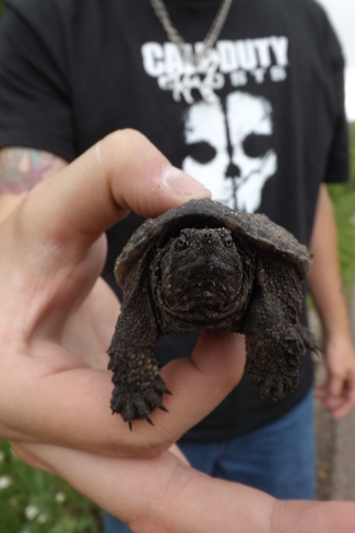 A Baby Snapping Turtle Pembroke, Ontario Canada