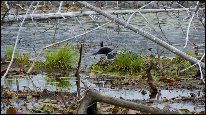 Loon on her nest, Sheriff Creek.