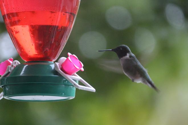 woodpecker nesting in our tree and a hummingbird outside my livingroom window Saint John N.B.