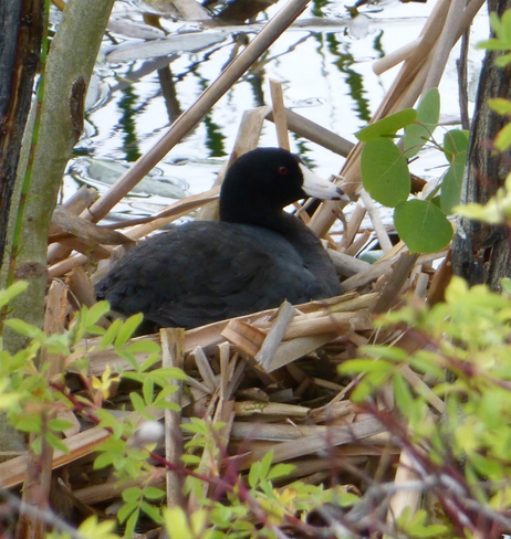 CARING COOT