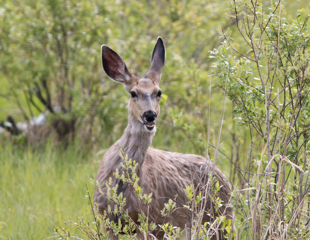 Mulie Posing for a picture Keoma, AB