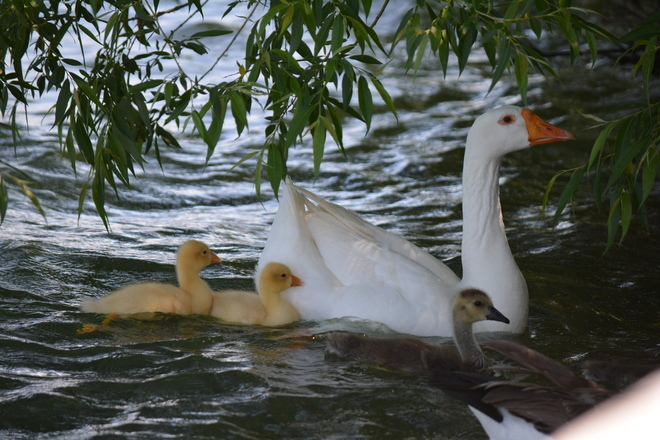 White Geese New Family! St. Catharines, ON