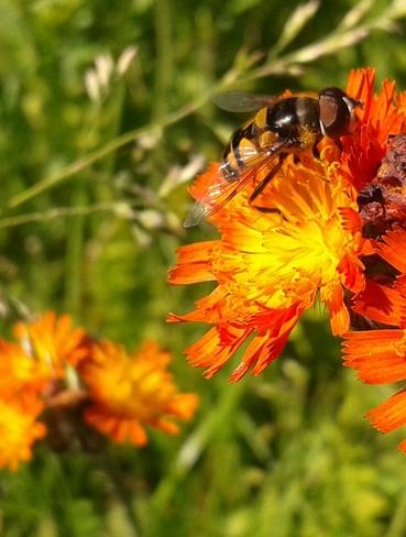 Un Syrphe sur une fleurs! Saint-Thomas, QC