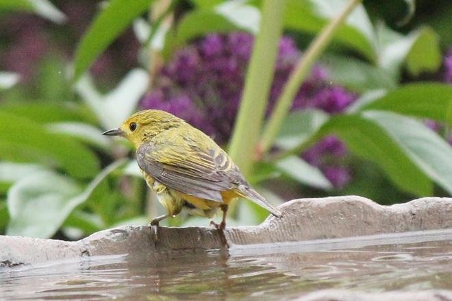 Yellow Warbler After the Bath Vanscoy, SK
