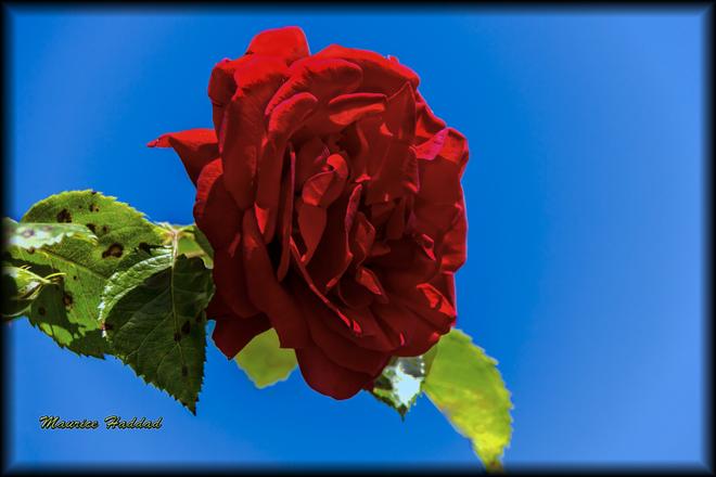 Rose et ciel dégagé Montréal, QC