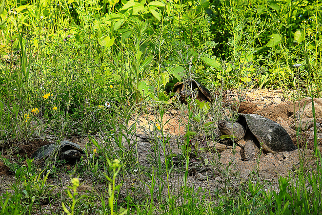 Snapping turtles -egg laying party Verona, ON