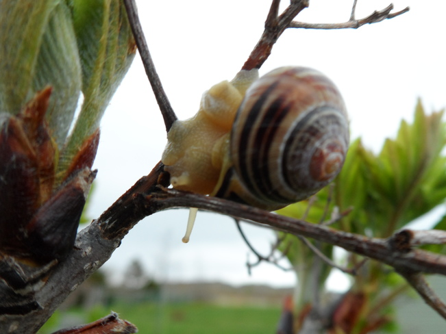 Snail on a tree Carbonear, NL