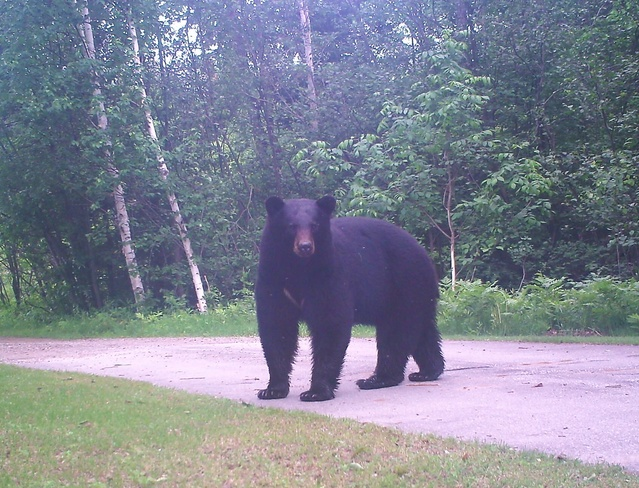 Big Bear Minden, Ontario