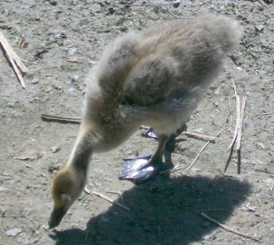 A Canada Goose and its gosling London, ON