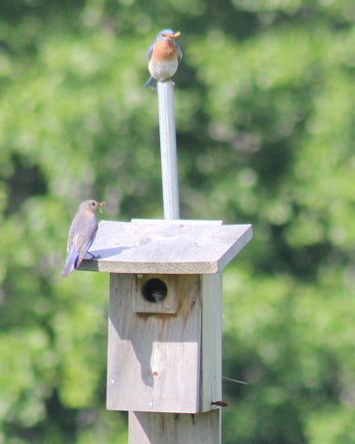 Eastern Bluebirds nestlings not ready to leave home yet! Wilton, ON