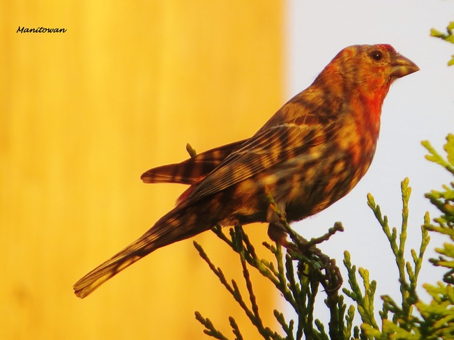 Flat Headed Finch Coated In Sunset New Westminster, BC