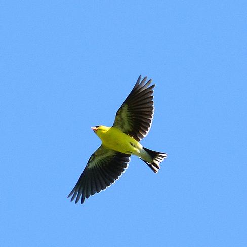 Small bird Laval, QC