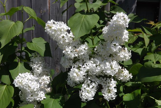 lilacs Thunder Bay, ON