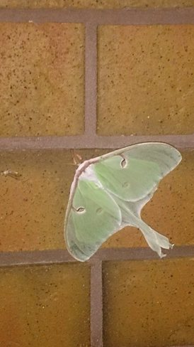 Luna Moth Peterborough, ON