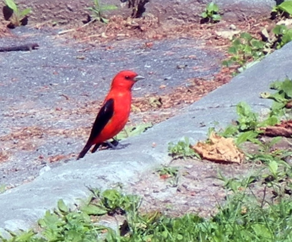 Beautiful Scarlet Tanager Acton, ON