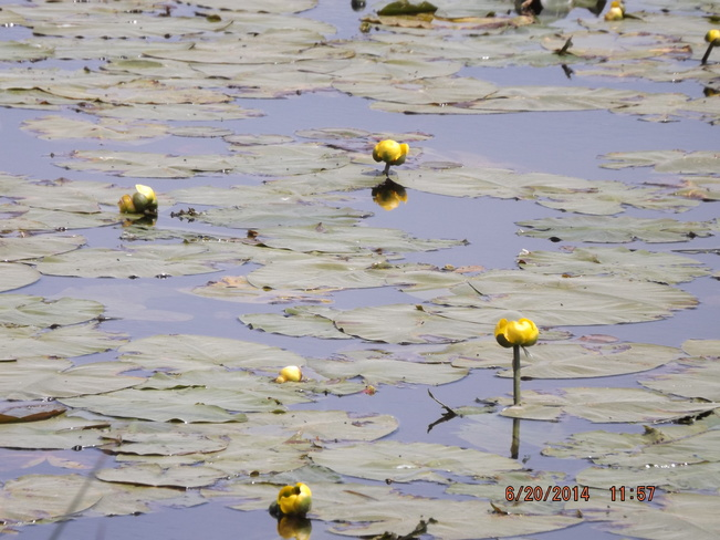 water lily MTM Conservation-Tiny Marsh, Elmvale, ON