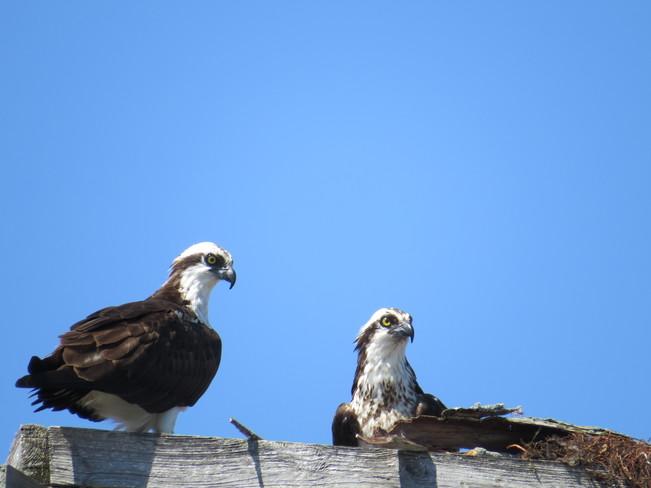 The osprey Kawartha Lakes, ON