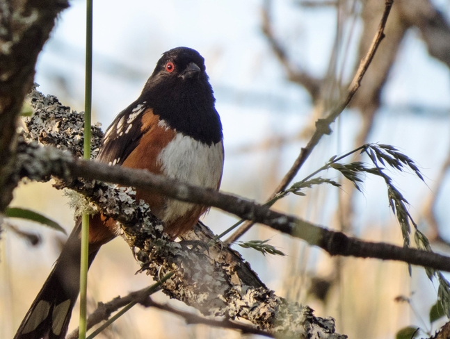 spotted towhee Victoria, BC
