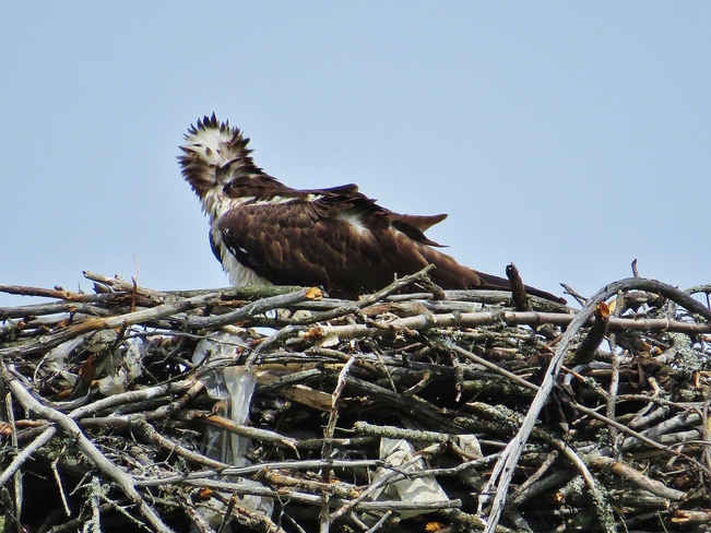 Osprey chick gives Mom a break. North Bay, ON