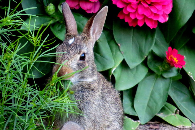 bunny in my garden Somerset, NJ, United States