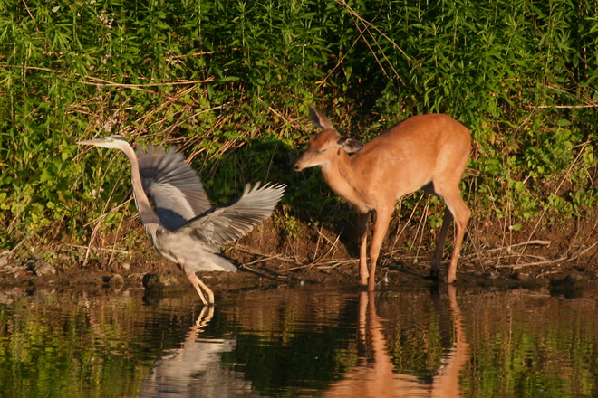 Great Blue Heron and young deer at the Desjardins Canal, Dundas ON Dundas, Hamilton, ON