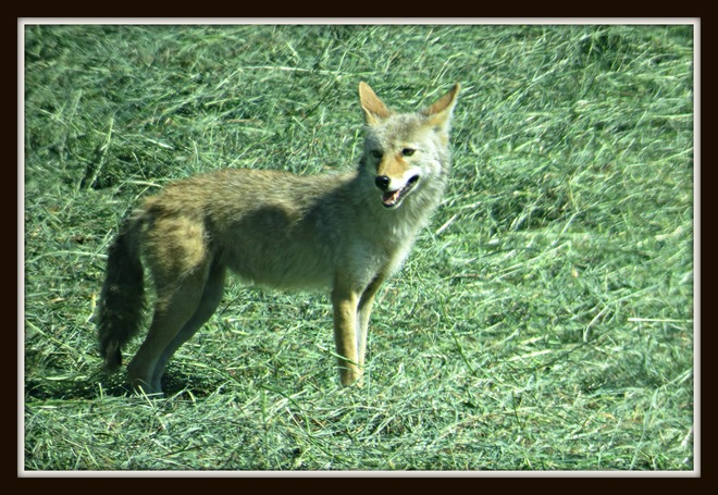 Coyote Enderby, BC