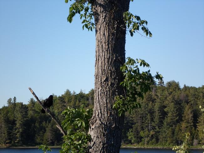 Black Bird.On Branch/Lake Horne E.L. Elliot Lake, Ontario Canada