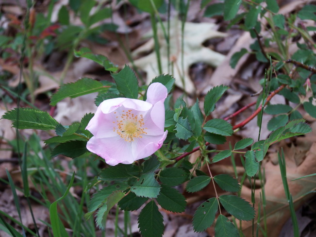 Wild Rose Grand Bend, Lambton Shores, ON