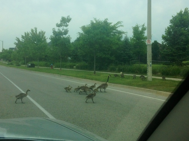 Waiting for the Geese to cross Buttonville, Ontario Canada